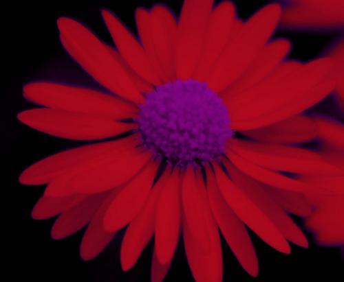 Gänseblümchen red