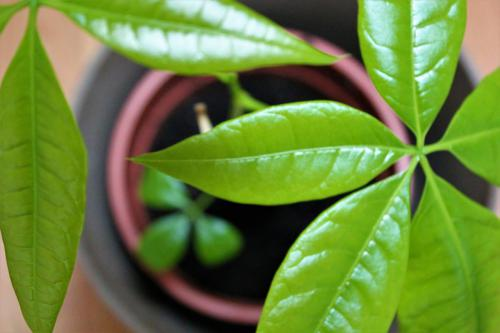 Pflanze reif